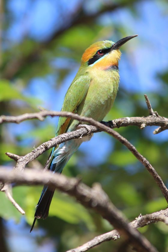 Rainbow bee-eater beside Nepean River at Douglas Park