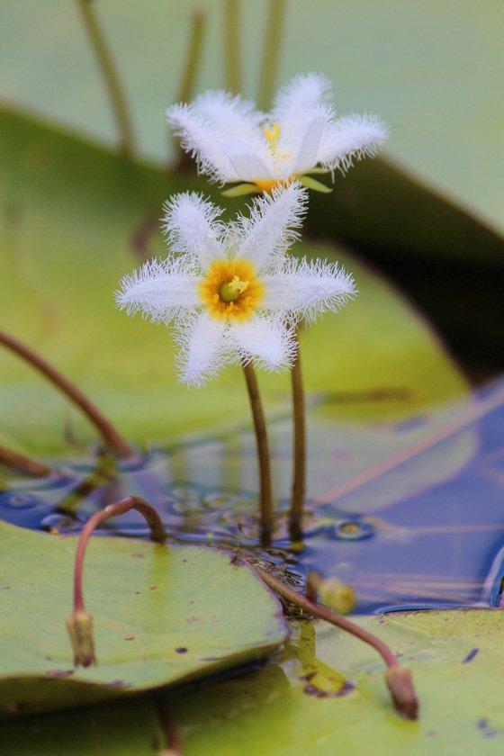 Water Snowflake Flowers, Queensland