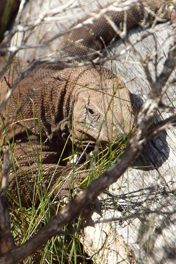Lace Monitor, Wingan Inlet, Victoria