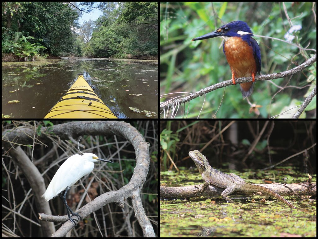Kayak, azure kingfisher, egret, and eastern water dragon at the Caboolture River in Caboolture