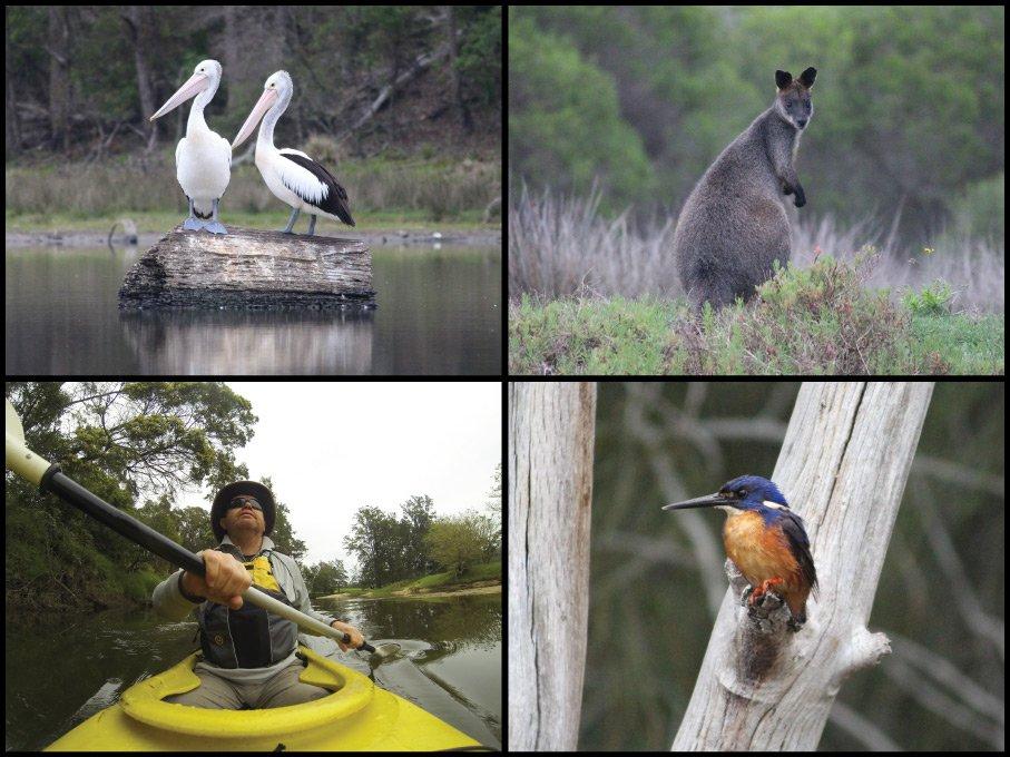 Kayaker, pelicans, swamp wallaby, and azure kingfisher at Narira Creek and Black Lagoon in Bermagui