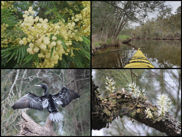 Kayak, silver wattle, little black cormorant, and tongue orchid at Bumbo Creek in Bodalla