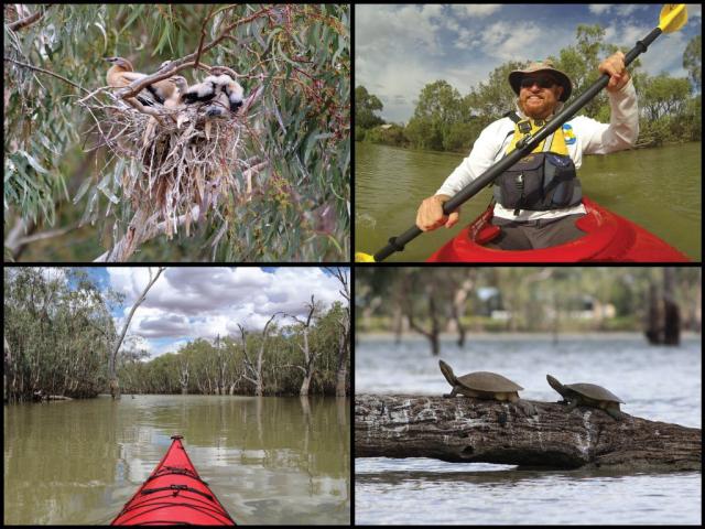 Kayaker, kayak, Australasian darter nest, and turtles at Lake Cargelligo