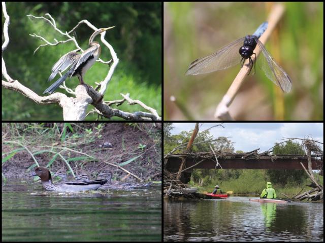 Kayakers, Australasian darter, dragonfly, and wood ducks on the Burnett River at Cedars Crossing
