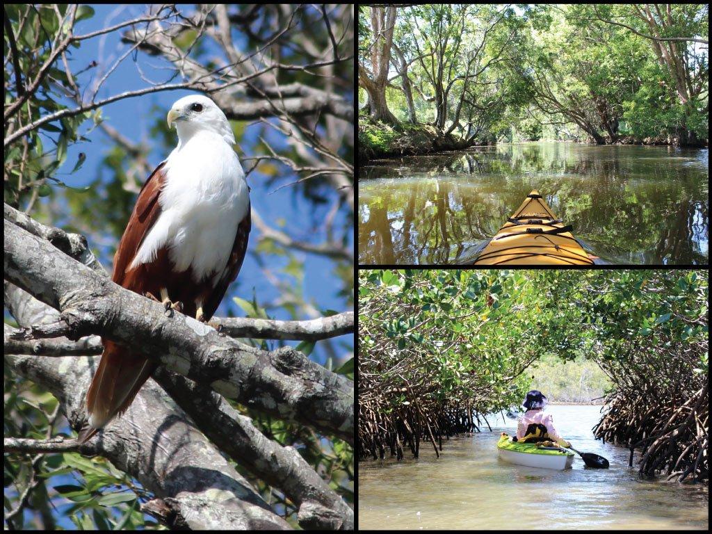 Kayaks, mangroves, and brahminy kite at Cobaki Creek in Tweed Heads