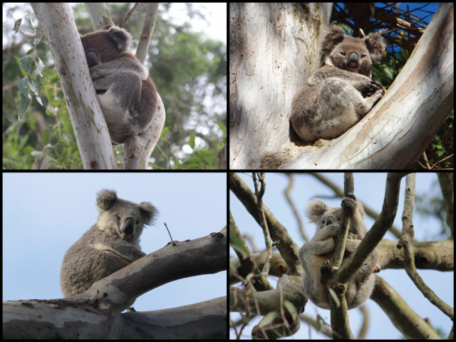 Koalas at the Wilsons River in Coraki