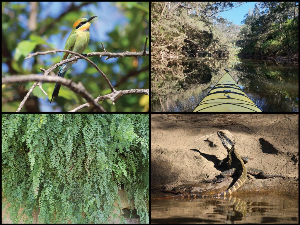Kayak, rainbow bee-eater, eastern water dragon, and maidenhair fern at the Nepean River in Douglas Park