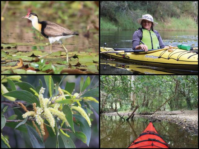 Kayaker, kayak, comb-crested jacana, and wattles at Enoggera Reservoir
