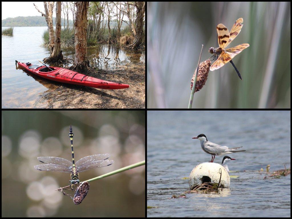 Kayak, dragonflies, and tern at Ewen Maddock Dam