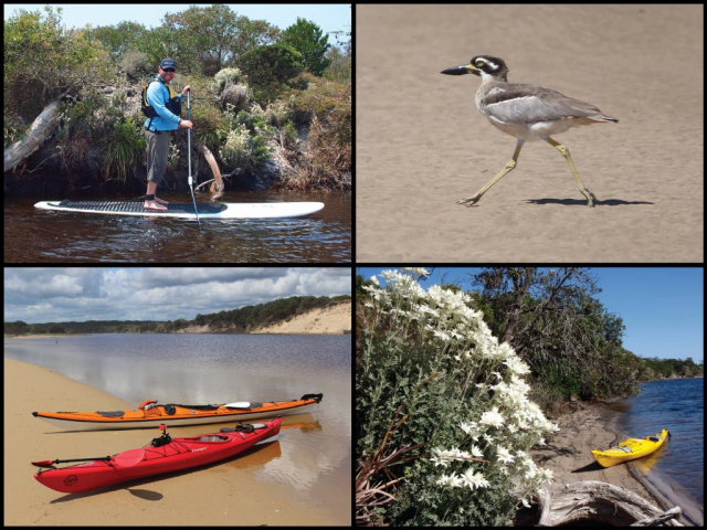 Stand up paddler, kayaks, beach stone-curlew, and flannel flowers at Jerusalem Creek in Bundjalung National Park