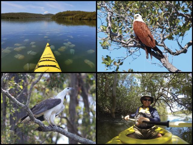 Kayaks, jellyfish, brahminy kite, and white-bellied sea eagle at Karuah River