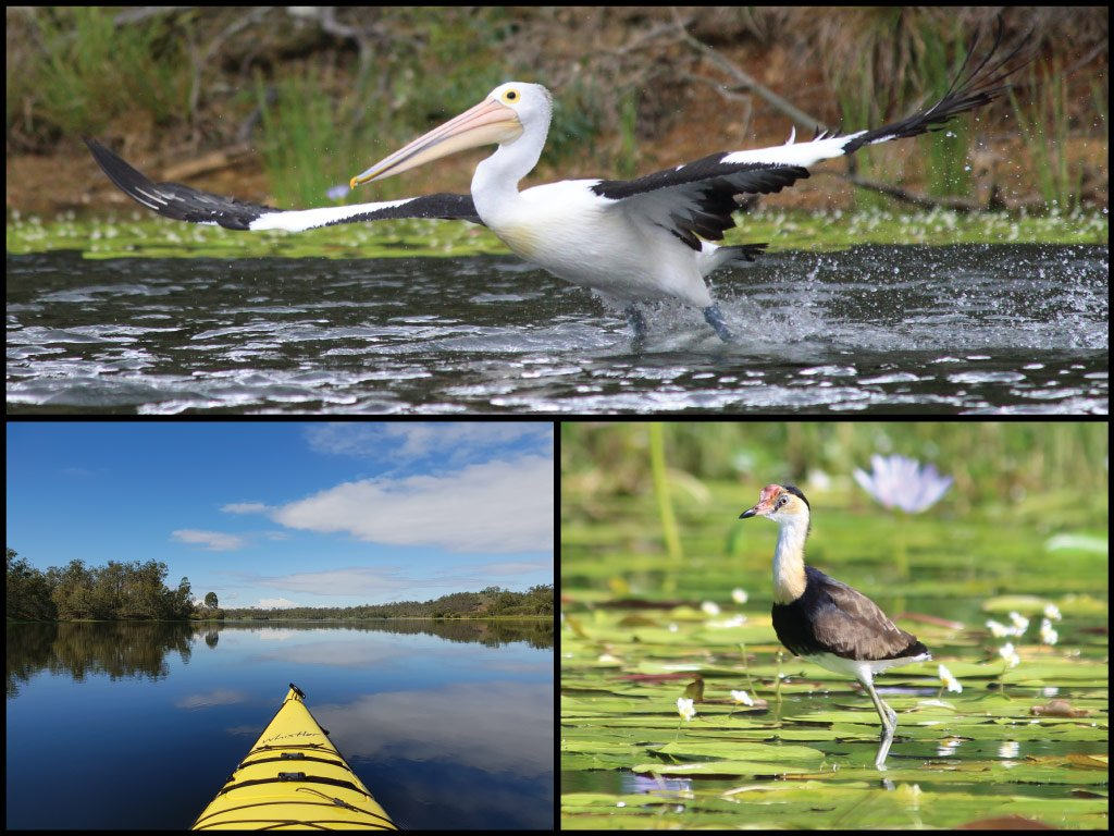 Kayak, pelican, and comb-crested jacana at Lake Manchester