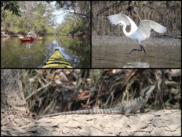 Kayakers, little egret, and eastern water dragon at Moonee Creek in Moonee Beach