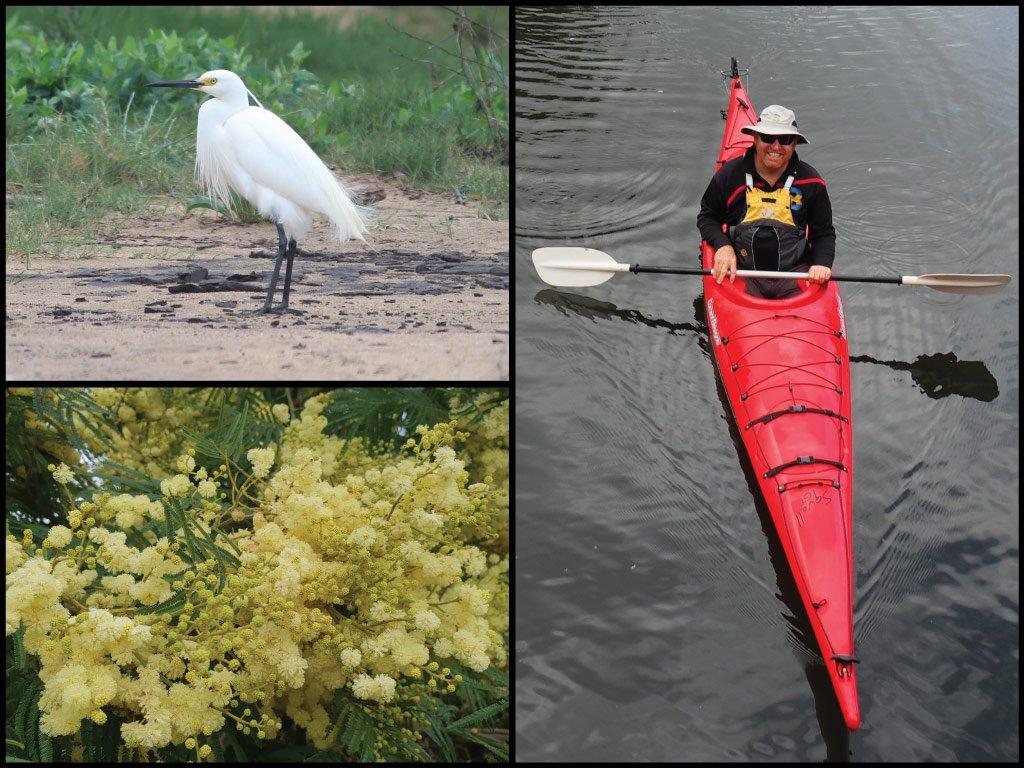 Kayaker, little egret, and wattle at Moruya River in Moruya