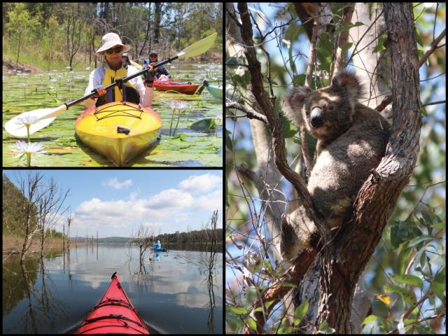 Kayakers, kayaks, and koala at Lake Samsonvale