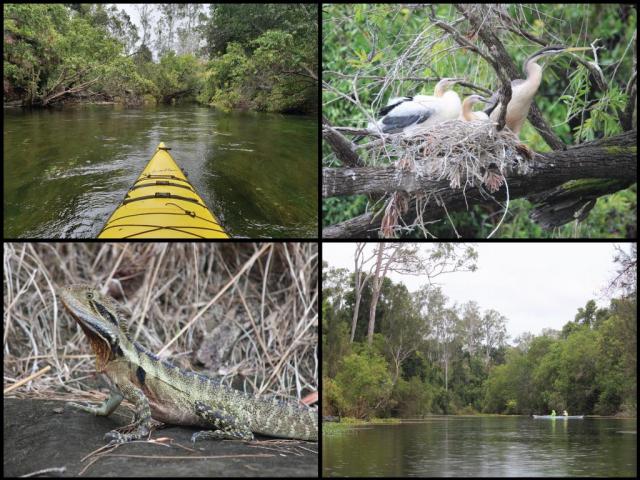 Kayak, kayakers, Australasian darter nest, and eastern water dragon on the Kolan River at Smiths Crossing