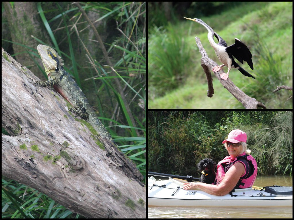 Kayaker with dog, eastern water dragon, and Australasian darter on the Mary River at Traveston Crossing