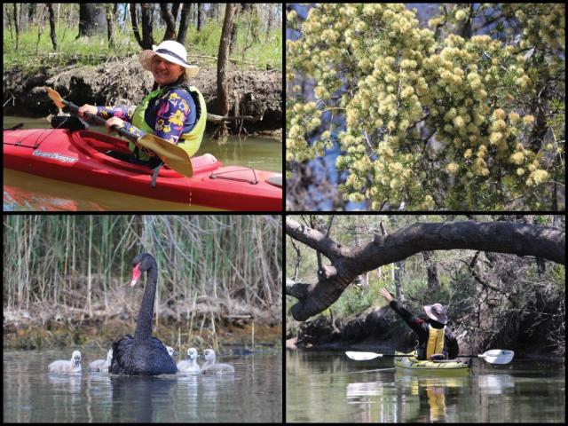 Kayakers, swan family, and wattles at Wallarah Creek at San Remo