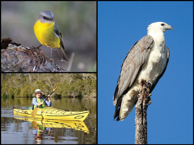 Kayaker, yellow breasted robin, and white-bellied sea eagle at the Wallingat River in Wallingat National Park