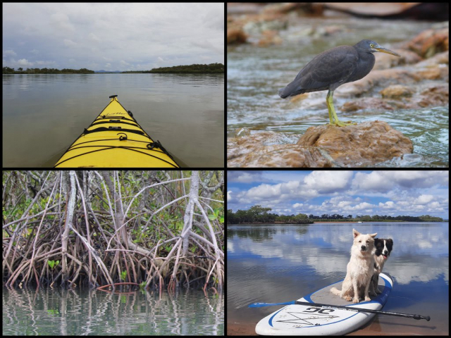 Kayak, reef egret, mangroves, and SUP dogs at Baffle Creek in Winfield