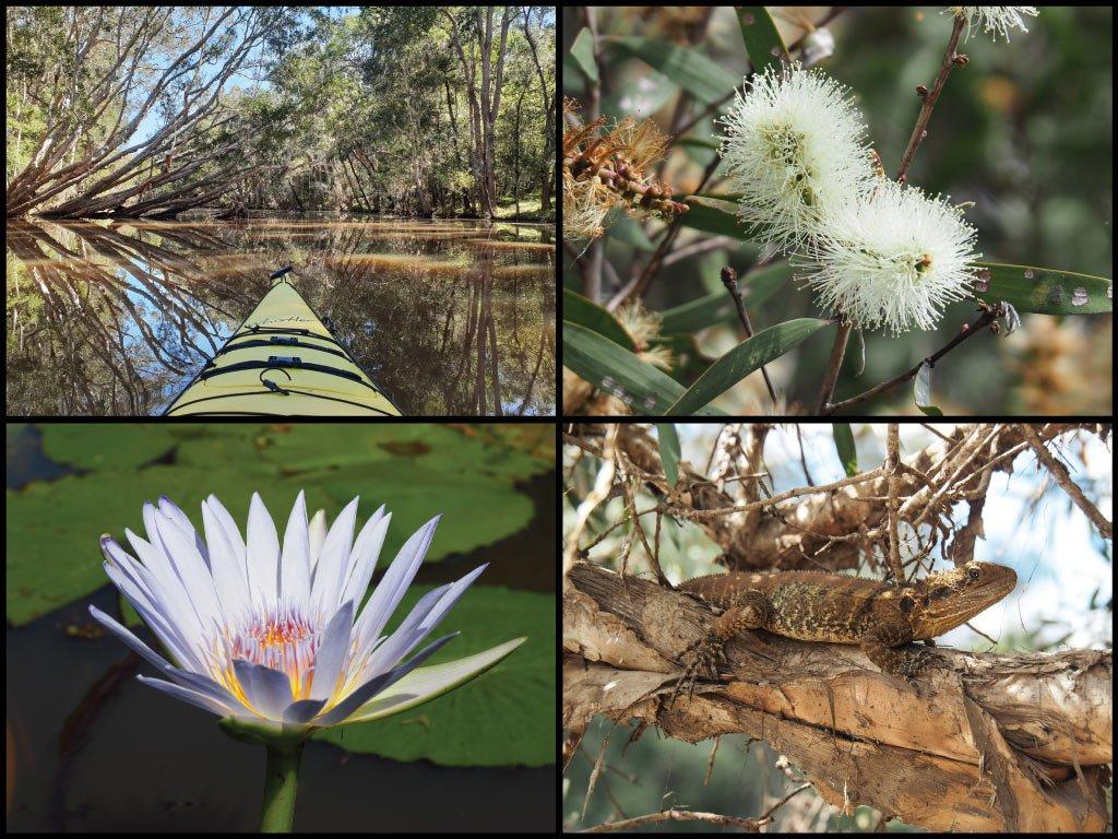 Kayak, tea-trees, water lily, and eastern water dragon at Broadwater Creek